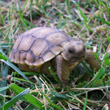 Disaster averted: How my failures at constructing a proper burrow almost drowned my pet tortoise in a monsoon rain storm