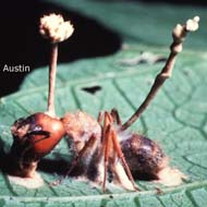 Cordyceps-infected ant