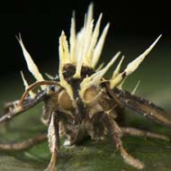 Cordyceps-infected moth