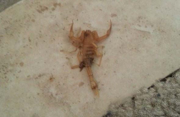 scorpion that stung me