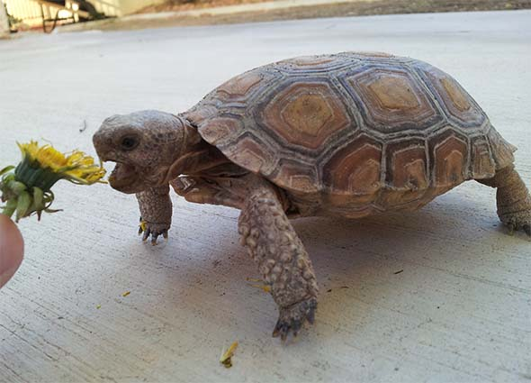 Koopa eating a dandelion