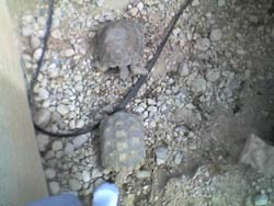 My older pet tortoises