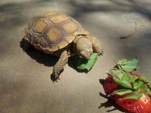 Koopa the tortoise eating greens and strawberries'